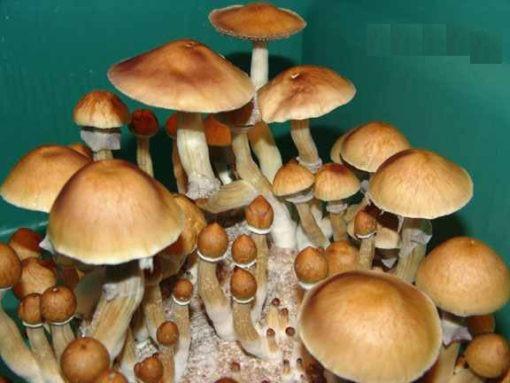Cambodia mushroom spores